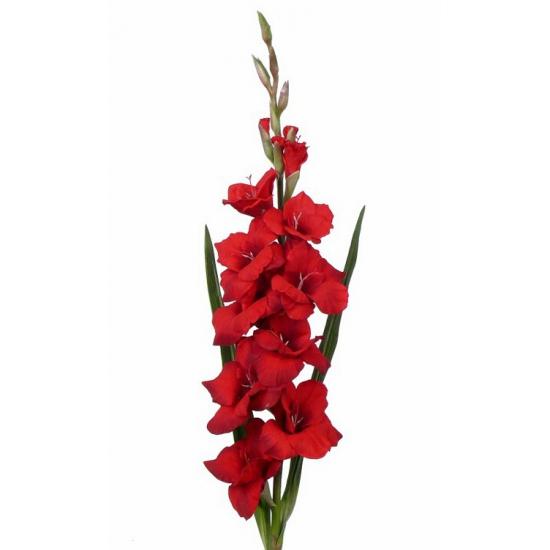 Rode gladiolen 102 cm