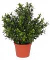 Buxus plant 31 cm