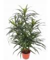 Dracaena reflexa Anita plant 73 cm