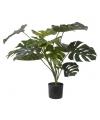 Monstera Deliciosa plant 85 cm
