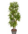 Dracena plant 120 cm