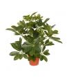 Schefflera plant 55 cm