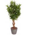 Oleander struik 130 cm