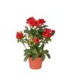 Decoratie rode rozen in pot