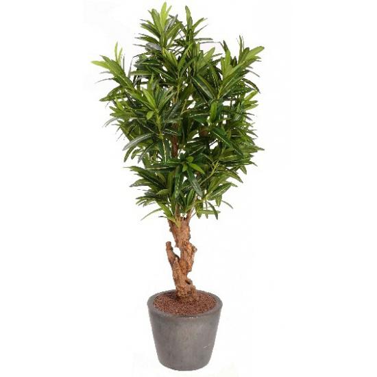 Oleander struik 130 cm Groen